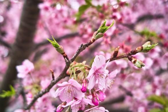桜の蕾がわりと好きないおりん。