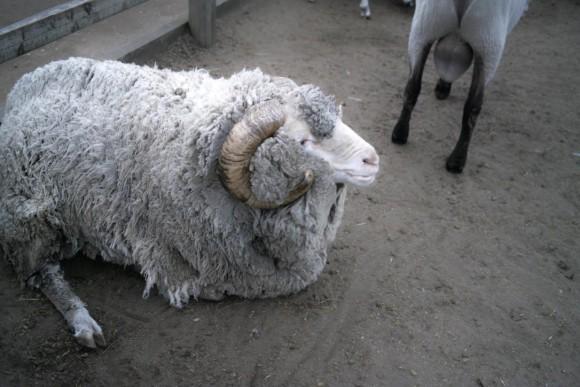 数々の試練を乗り越えたであろう羊。かっこいい。