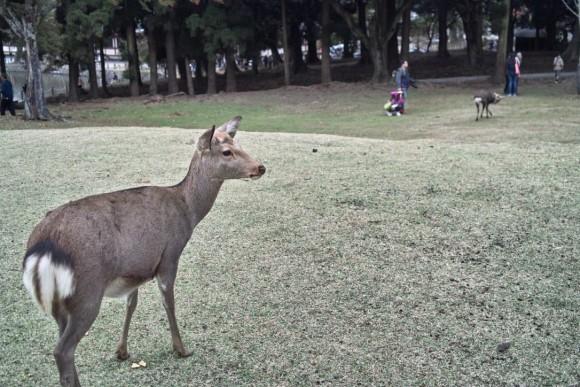奈良公園の鹿は本当かわいいですね!