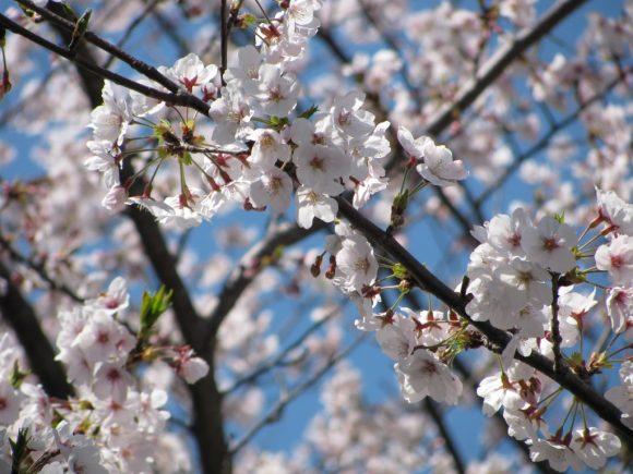 写真は2009年の桜。