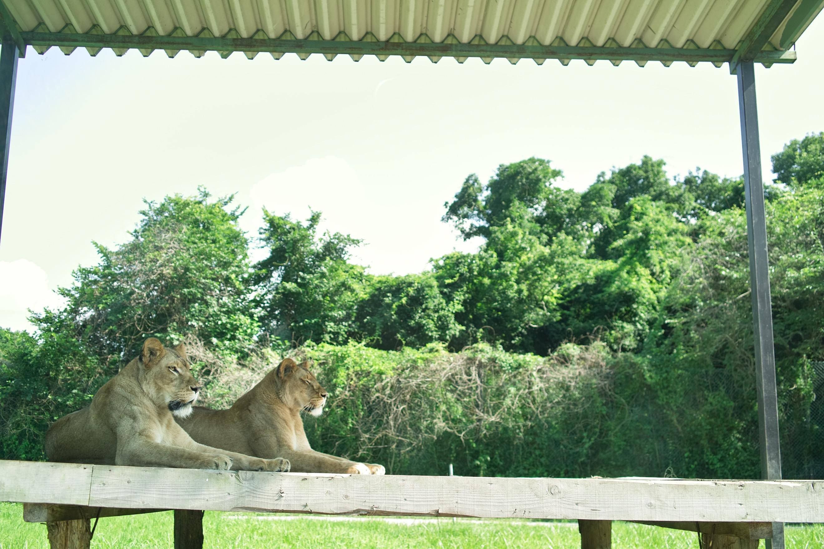 動物園とかのライオンって運動してんのかな。