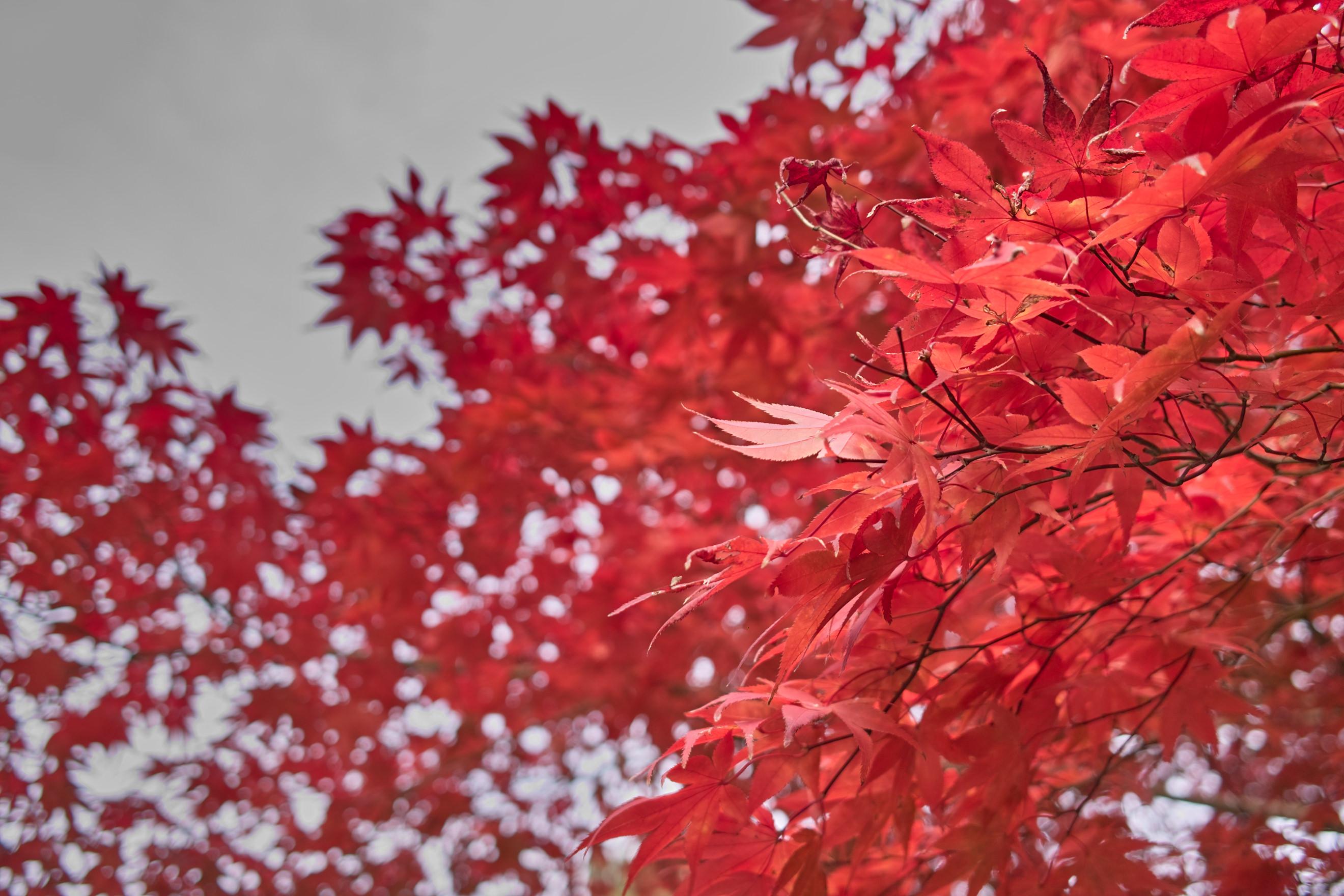 奈良の紅葉。綺麗な赤ですね。